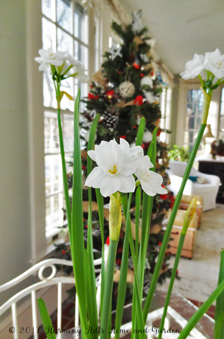 Amaryllis and Paperwhites in bloom for Christmas