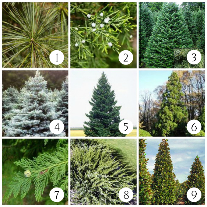 Trees to plant for Christmas decorating