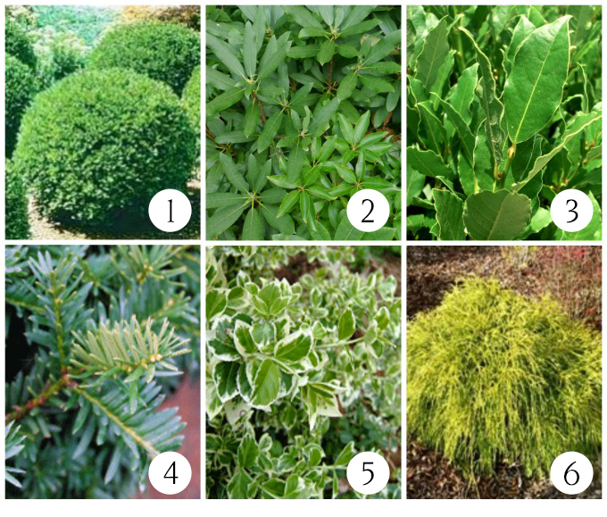 Shrubs to plant for use in Christmas decorating