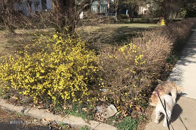 Witch Hazel shrub?   Blooming in early February 2017