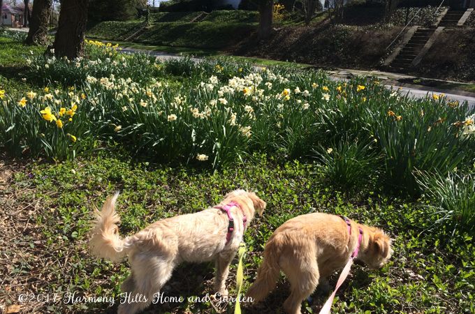 Top 6 Reasons Your Daffodils Aren't Blooming