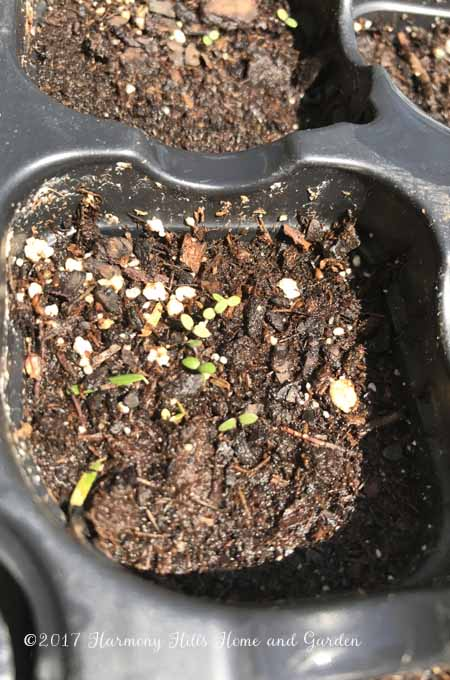 Three varieties of Alyssum seeds have sprouted after one week - www.HarmonyHillsHomeandGarden.com