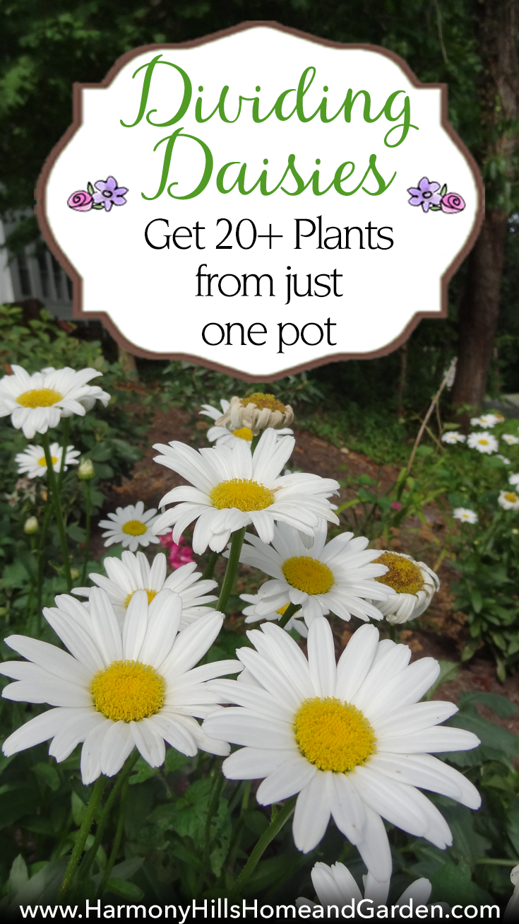 Dividing daisies get 20 plants from one pot harmony hills home dividing daisies get 20 plants from just one pot stretch your gardening dollars izmirmasajfo Gallery