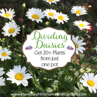 Dividing Daisies: Get 20+ plants from just one pot! www.HarmonyHillsHomeandGarden.com