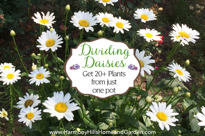 Dividing Daisies: Get 20+ plants from just one pot! Stretch your gardening dollars! - www.HarmonyHillsHomeandGarden.com