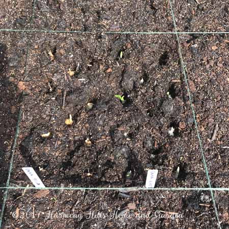 My square foot garden Week 1 Update - Planting onion sets - www.HarmonyHillsHomeandGarden.com