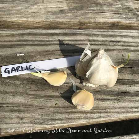 My square foot garden Week 1 Update - Planting Garlic - www.HarmonyHillsHomeandGarden.com