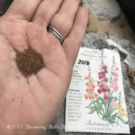 Starting Seeds - Foxglove