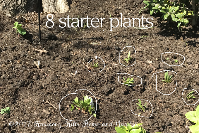 Dividing Daisies - get 20+ plants from one pot! - www.HarmonyHillsHomeandGarden.com