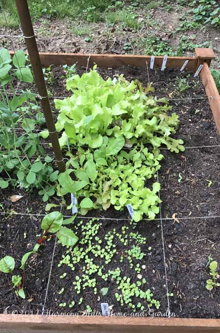 Three squares of lettuce and mesclun: 1, 3 and 5 weeks old